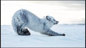 Le renard polaire fait-il des réserves de nourriture pour l'hiver ?