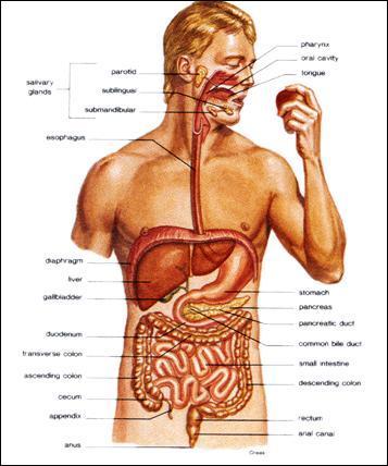 La digestion commence dans l'estomac.