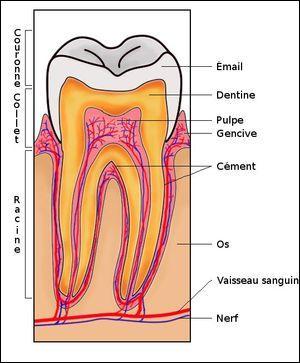 Les dents ont au moins deux racines.