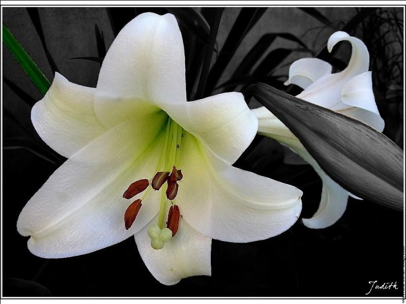 """Associée à la pourpre, cette """"fleur"""" vous fait penser à..."""
