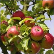 Le pommier est un arbre fruitier.