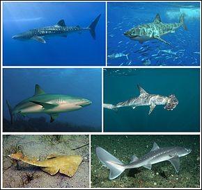 Le requin est-il un poisson ou un mammifère ?
