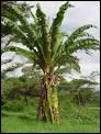 Je suis un fruit tropical qui vit en groupe et dont l'arbre est le bananier. Vous l'avez deviné, je suis...
