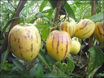 Un petit tour dans le potager où nous trouvons des pepinos, quel est leur autre nom ?