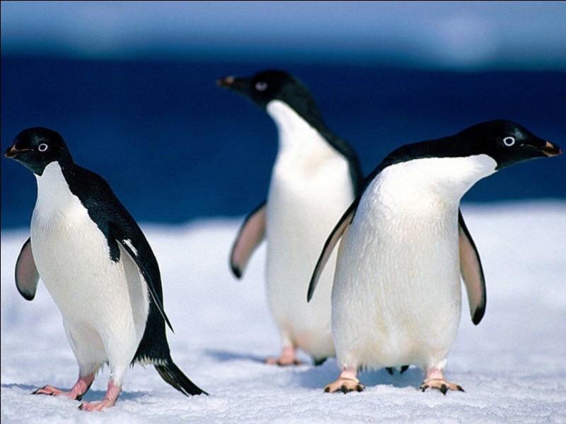 Le pingouin a des genoux.