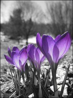Je rends un hommage particulier aux toutes premières fleurs de printemps qui poussent en montagne, par tapis de couleur blanche ou violette, à la fonte des neiges ?