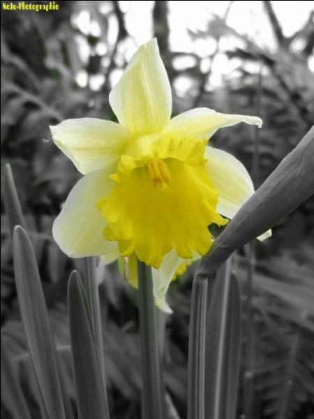 Magnifique fleur de printemps, de quelle famille est la jonquille ?