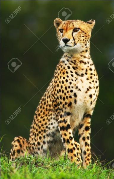 Combien pèse un guépard ?
