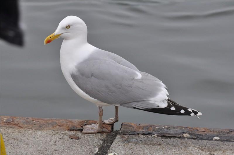 A quelle famille d'oiseaux marins appartiennent le goéland et la mouette ?