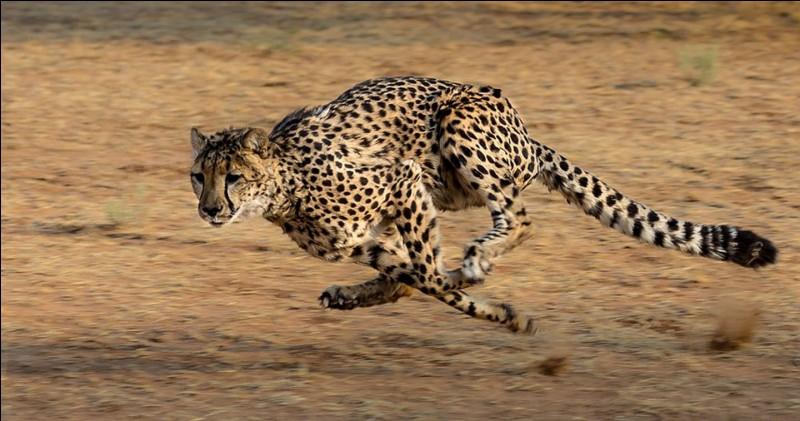 En combien de secondes le guépard passe-t-il de 0 à 100 km/h ?