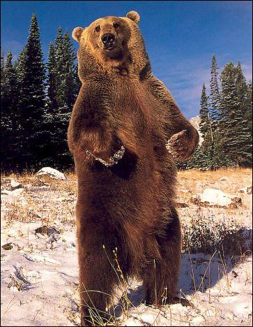 Les ours bruns vivent en groupe.
