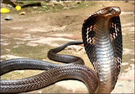 On appelle aussi le cobra 'serpent à lunettes' ?