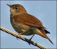 Le rossignol est un oiseau qui chante au lever du soleil.