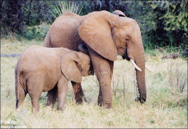 Les éléphants ne dorment jamais.
