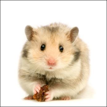 Le hamster transporte ses provisions sur son dos.