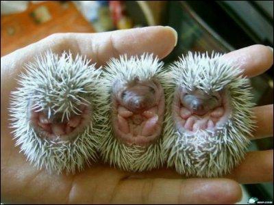 Les hérissons naissent sans piquants.