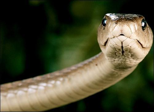 Le mamba est le plus gros serpent venimeux d'Afrique.