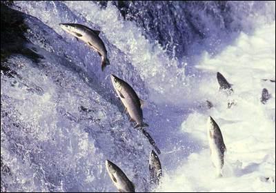 La chair du saumon sauvage est toujours rose.
