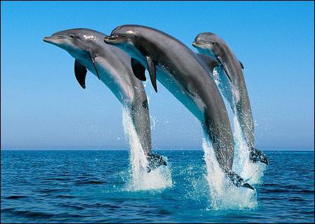 Les dauphins vivent en troupe.