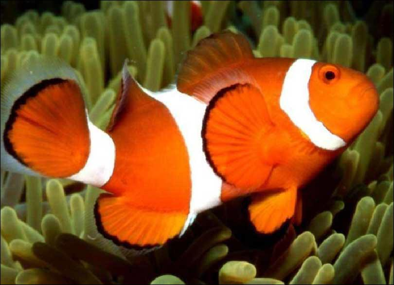 Chez certains poissons, les oeufs sont incubés dans la bouche.