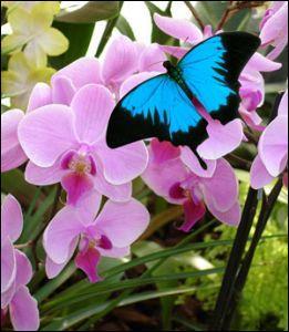 Les papillons sont ovipares