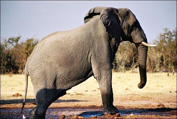 La gestation chez l'éléphant dure deux ans.