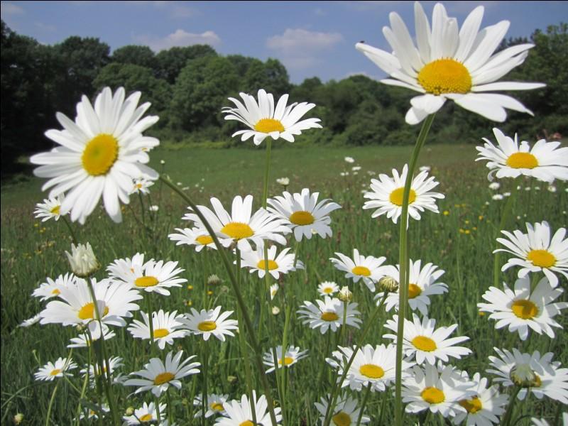 """Quelle fleur effeuille-t-on en disant """"il m'aime, un peu, beaucoup, passionnément..."""" ?"""