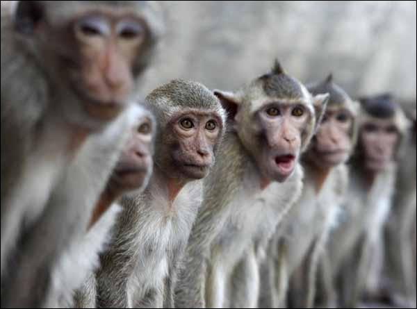 Au matin, tu découvres qu'une bande de singes t'observent, intrigués.