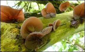 Quel est le nom de ce champignon ?
