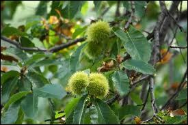 Dans la forêt, des oiseaux s'écrient : ''Maman, on a trouvé des œufs de hérisson !''. Que voient-ils sur l'arbre ?
