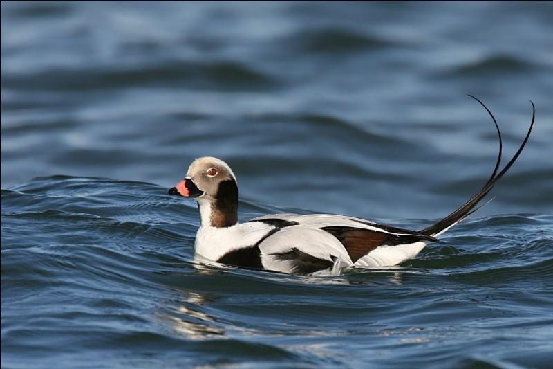 Quel est le nom de ce canard sauvage de l'Arctique ?Pour le trouver, dis 2 fois la 11e lettre de l'alphabet et ajoute le contraire de ''non''.