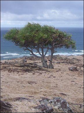 Cette plante arborescente, endémique de l'île Rodrigues, est un vacoa parapluie.