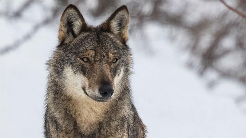 """L'ancien mot pour désigner un loup était """"goupil""""."""