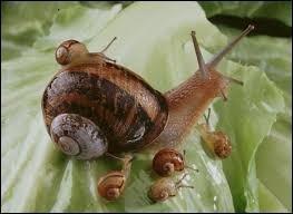 Comment appelle-t-on l'élevage d'escargots comestibles ?
