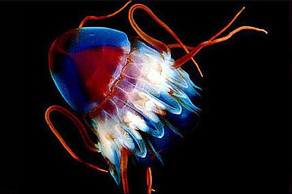 """[Méduse turritopsis nutricula vs « X-Men »]Une méduse nommée """"turritopsis nutricula"""", ne mesurant que 5 mm de diamètre aurait, en théorie, et selon les scientifiques, une espérance de vie confinant à l'immortalité :"""