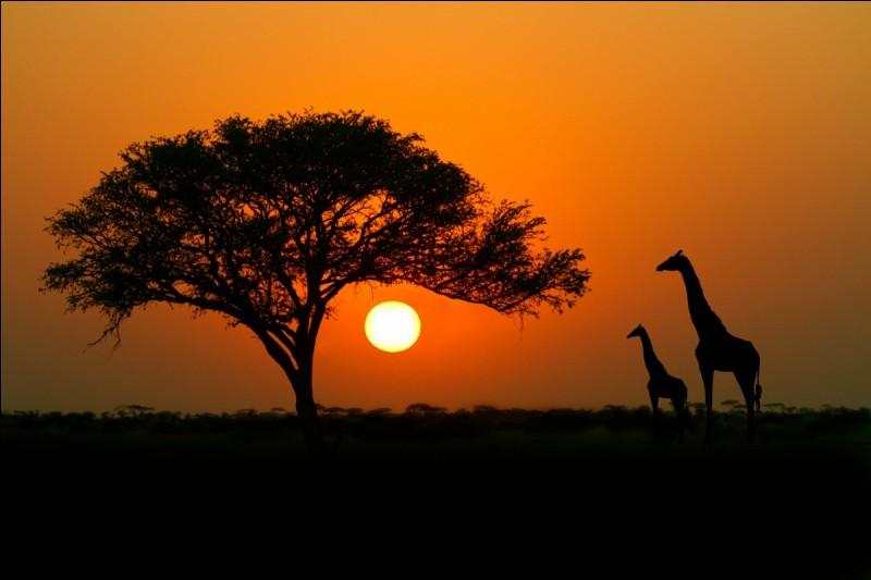 Les acacias se protègent de l'appétit féroce des girafes et des antilopes en émettant de l'éthylène à destination de leurs congénères, tous ces arbres élevant alors le taux de tanin contenu dans leurs feuilles, les rendant ainsi immangeables :