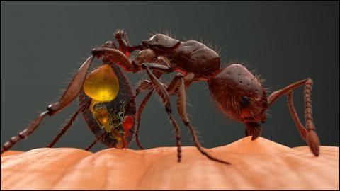 """La piqûre de la fourmi nommée """"boulet de canon"""" est la plus douloureuse au monde :"""