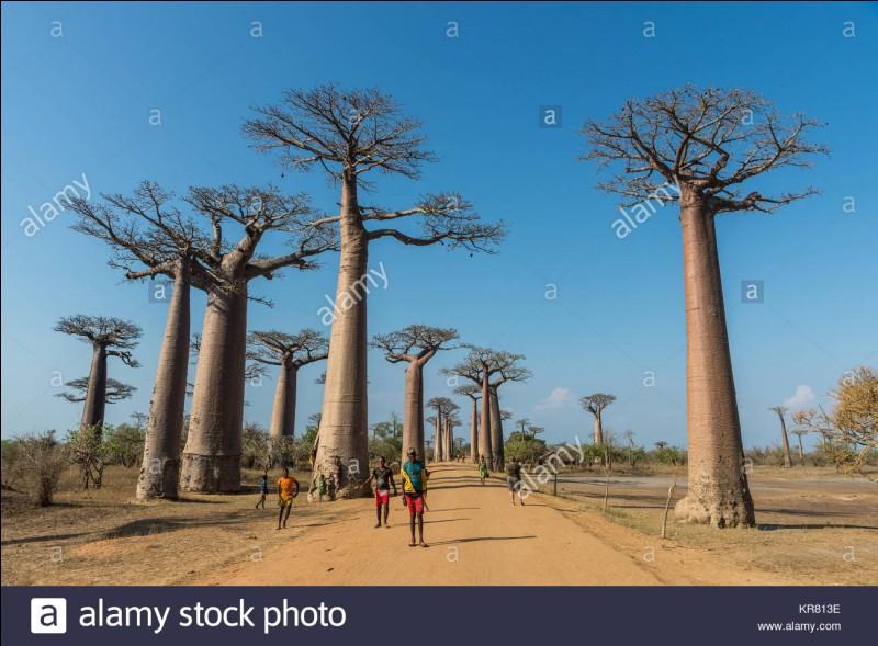 Où se trouve l'avenue des baobabs, une route de terre bordée par une douzaine d'arbres ?