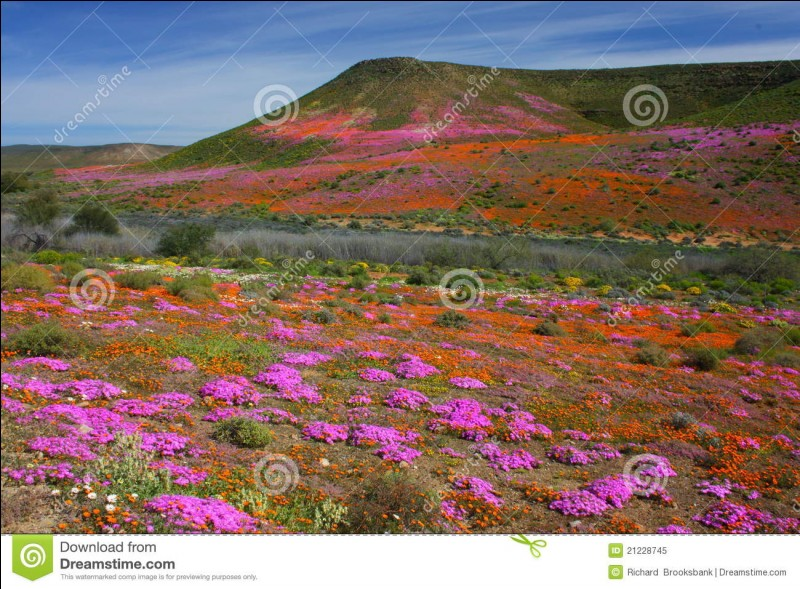 Le Namaqualand est l'un des endroits les plus arides d'Afrique. Mais au printemps un peu de pluie le transforme en un immense champ de fleurs sauvages. Où se trouve-t-il ?
