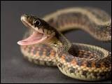 Le serpent est un...