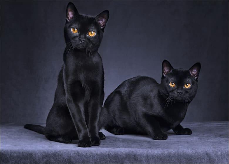 Le 17 août est la journée internationale du chat noir, tout noir.Adopter un chat noir ne porte pas malheur !De quelle race sont ces chats, en photo ?