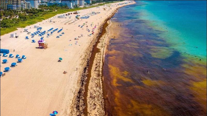 Quelle est cette plante qui, sous la forme d'algues flottantes, s'accumule au large des côtes de Floride en formant une véritable prairie où vont se reproduire les anguilles ?