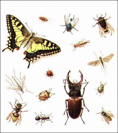 Quel insecte est consommé en friture ou en 'rougail' par les créoles ?