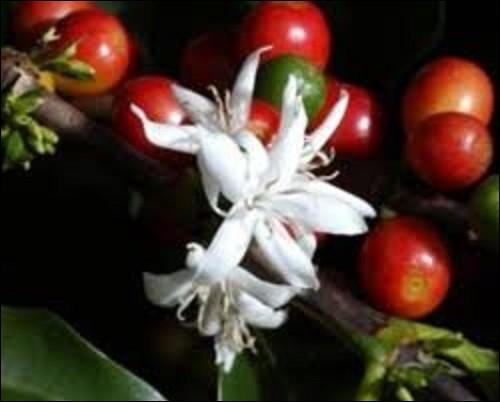 Nature / récolte : Cet arbuste produit des fruits charnus de couleurs rouge, violette, ou jaune, contenant chacun 1 grain de café. Ils parviennent à maturité six à huit mois après leurs floraisons pour l'arabica. Pour un robusta, quelle est la durée de maturation avant de pouvoir le récolter ? (Photo : fleur de cet arbuste).