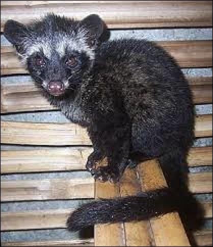 Animaux / production : Produit essentiellement dans l'archipel indonésien, Sumatra, Java, Bali, aux Philippines et dans le Timor oriental, le kopi luwak est un café récolté dans les excréments d'une civette asiatique, le luwak. Se nourrissant du fruit de cet arbuste, il a une digestion quasi absente, ne digérant que la pulpe mais pas le noyau que l'on récolte. Quel est l'autre nom de cet animal ?