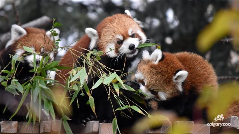 Le panda roux est aussi appelé :