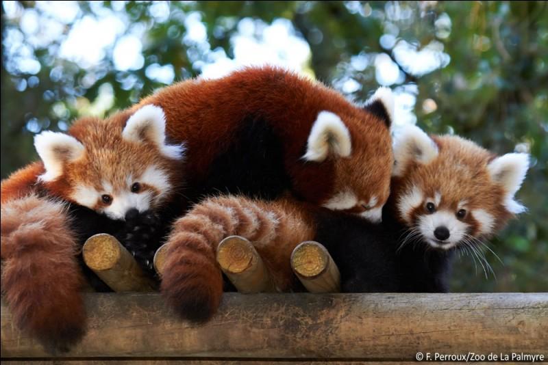 Quelle est la durée de vie du petit panda ?
