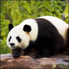 Animaux : Combien de zoos en France possèdent des pandas géants ?