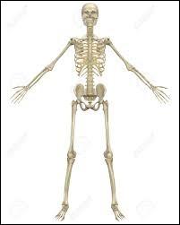 Corps humain - Quel est l'os le plus long du corps humain ?