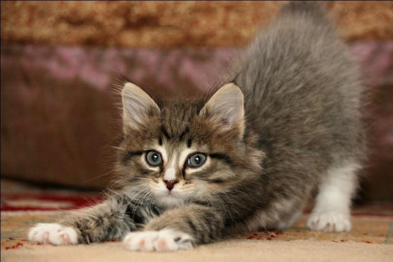 Plus difficile : combien de races de chats existent actuellement ?